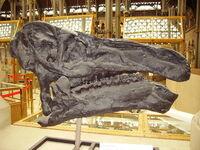 Iguanodon skull