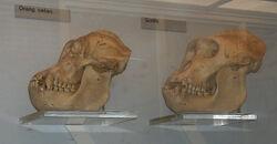 Orang.gorilla.skulls