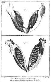 Cuvier elephant jaw