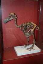Dodo-Skeleton Natural History Museum London England