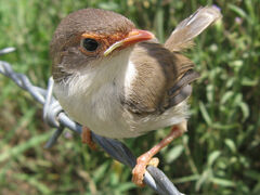 Superb fairy wren2 LiquidGhoul