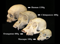 Primate skull series with legend