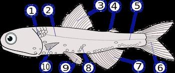 Lampanyctodes hectoris (Hector's lanternfish)2