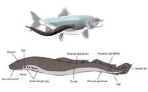 Lamprey illustration side