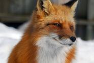 Cute-fox-kitsune-smile-Favim.com-122186-2