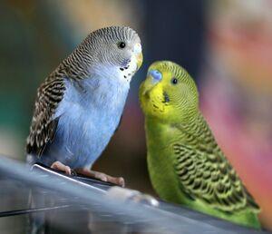Parakeets-1-
