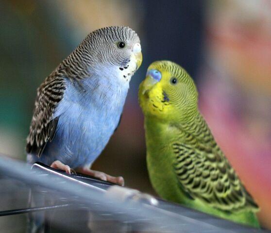 File:Parakeets-1-.jpg