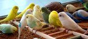 Budgie-flock-1-