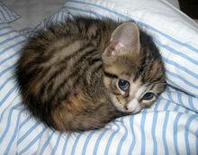 Belle - Adelaide de Grandin's Cat