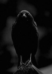 Dahlia - Cecilia's Raven
