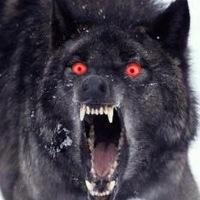 Image wolf