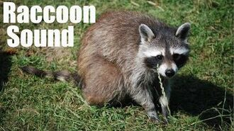 Raccoon 🦝 Sound Effect Used for Swearing 🤬