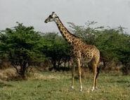 HugoSafari - Giraffe19