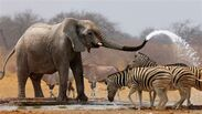 African Elephant Squirting