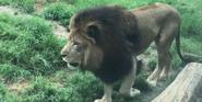 Birmingham Zoo Lion