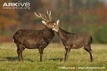 Male and female sika deer interacting