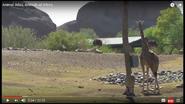 Ostriches and Giraffes