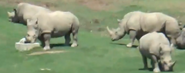 San Diego Zoo Safari Park White Rhinos