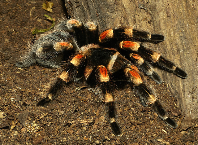 The Venomous But Docile Mexican Redknee Tarantula Brachypelma Smithi Or Hamorii Is Most Common Spider Used In Movies Due To Its Large Size And