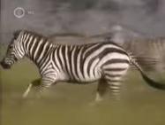Zoboomafoo Zebras