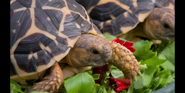 CITIRWN Star Tortoises
