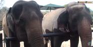 Central Flordia Zoo Elephants