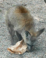 Knoxville Zoo Bat-Eared Fox