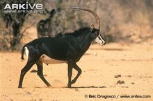 Male-Roosevelts-sable