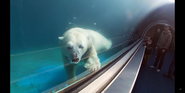 Pittsburgh Zoo Polar Bear