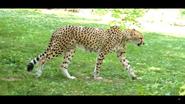 Cincinnati Zoo Cheetah (V2)