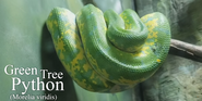 Cleveland Metroparks Zoo Green Tree Python