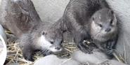 Columbus Zoo Otters