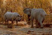 Female Rhinoceros Vs Male Elephant