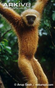 Gibbon, Agile