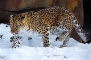 Noah's Ark Leopards