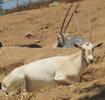 San Diego Zoo Safari Park Arabian Oryx