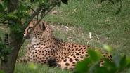 FWZ Cheetah