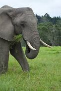Female Elephant Head