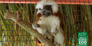 Naples Zoo Tamarin