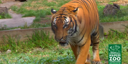 Naples Zoo Tiger