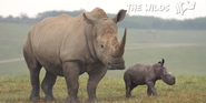 The Wilds White Rhinos