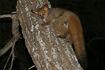 Thick-tailed Bushbaby (Otolemur crassicaudatus) (17322632725)