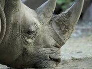 White Rhinoceros Sniffs the Muddy Ground