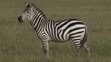 1369658543 zebra