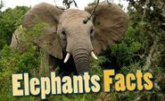 Elephants Facts