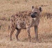 Spotted Hyena (Animals)