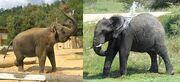 All Elephants Use their Trunks to Spray Water Onto their Backs