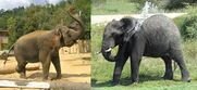 All Elephants Use their Trunks to Spray Water Onto their Backs