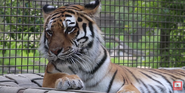 Calgary Zoo Tiger