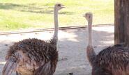 Ostrich in arizona's wildlife world zoo